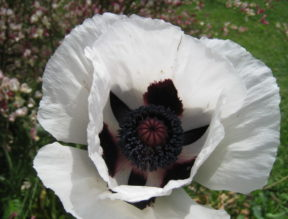 White Poppy at The Artist's Inn
