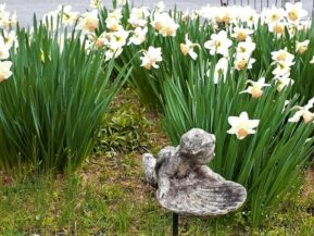 Daffodils at The Artist's Inn
